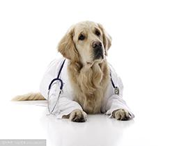 犬瘟热腹泻一定会丧失食欲吗?
