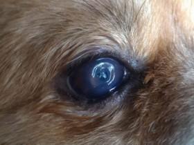 D.一例犬瘟引起眼睛病变及康复过程——15.右眼在继续恢复中,结膜充血