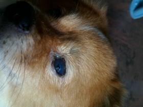 D.一例犬瘟引起眼睛病变及康复过程——13.左眼在恢复中,结膜充血