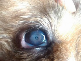 D.一例犬瘟引起眼睛病变及康复过程——11.右眼角膜穿孔后明显凹陷