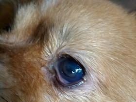 D.一例犬瘟引起眼睛病变及康复过程——9.左眼角膜穿孔,角膜下透明水泡凸起