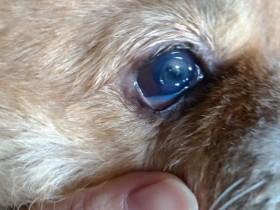 D.一例犬瘟引起眼睛病变及康复过程——8.右眼结膜充血,角膜下蓄脓,纤维蛋白