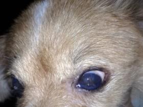 D.一例犬瘟引起眼睛病变及康复过程——7.双眼蓝眼,角膜都穿孔,可见右眼流脓,左眼透明水泡凸起