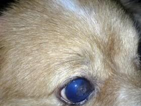 D.一例犬瘟引起眼睛病变及康复过程——6.右眼蓝眼,角膜穿孔(放大观看更清晰)